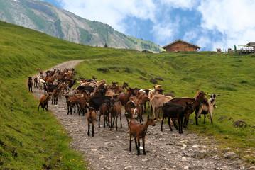 Troupeau de chèvres dans les Alpes