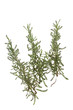 canvas print picture - Heiligenkraut (Santolina chamaecyparissus)