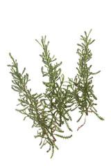 Heiligenkraut (Santolina chamaecyparissus)