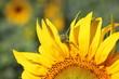 Great green grasshopper (Tettigonia viridissima) on sunflower