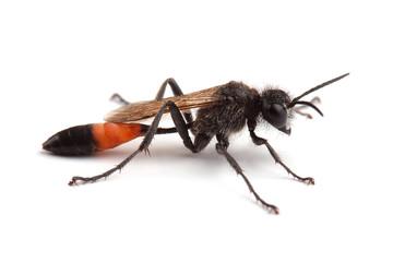 Female of wasp (Podalonia hirsuta) isolated on white
