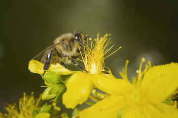 bee fumbling on a blossom