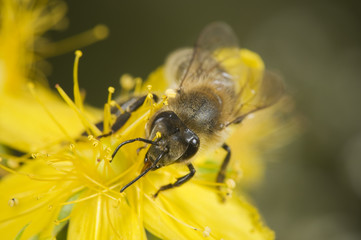 head shot of bee on yellow blossom