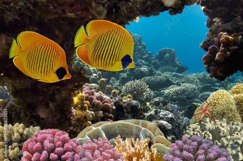 Fototapeta Masked Butterfly Fish