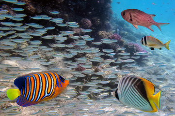 Group coral fish in blue water