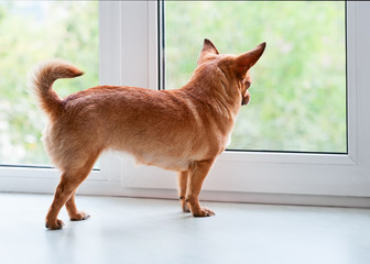 Red chihuahua dog standing on window sill.