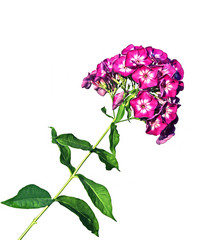 Flower of pink phlox isolated
