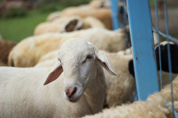 Sheep in the farm of thailand