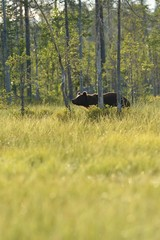 Brown bear walking in the forest near the swamp