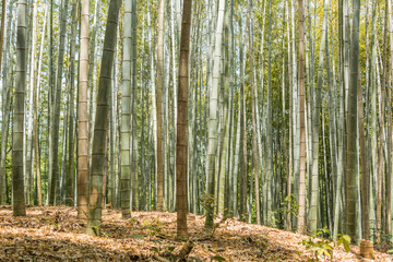 Bamboo forest at Arashiyama
