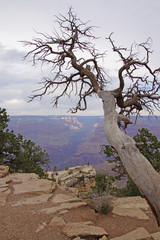 Grand Canyon Look out tree