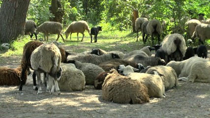 Flock of sheep resting in the shade of the trees
