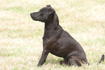 Obedient Black dog
