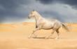 Akhal-teke horse in the desert