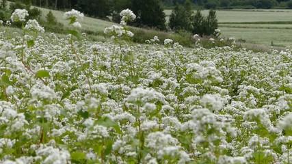 広大な蕎麦畑と蕎麦の花_3