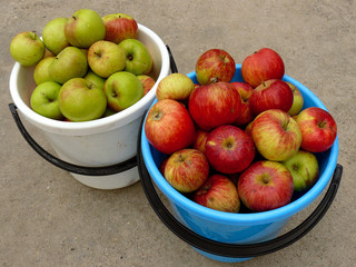 two buckets full of fresh harvested apples