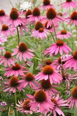 Echinacea purpurea - Hochformat