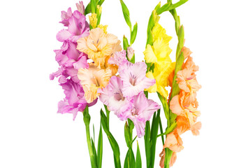 gladiolus isolated