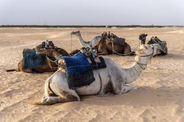 Camello Tunez