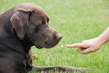 Labrador im Training
