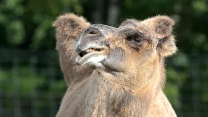 Bactrian camel (Camelus bactrian)