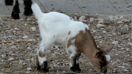 Baby domestic goat