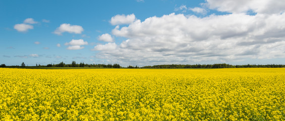 Panorama of yellow field rapeseed (Green Gables Shore, Prince Ed