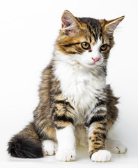 cute long haired maine cat