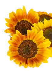 Beautiful sunflowers isolated on white