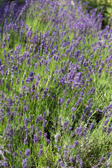 Lavendel Wiese blüht in Lavendelfarbenem Violett.