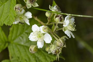 Wilde Brombeere - Blüten