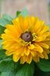 canvas print picture - Rudbeckien - Sommerblume gelb braun