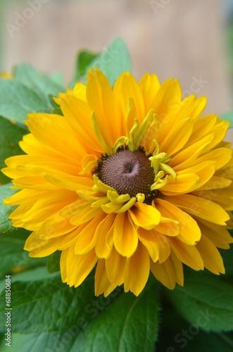 canvas print picture Rudbeckien - Sommerblume gelb braun