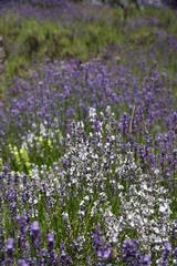 Weißer und Violetter Lavendel.