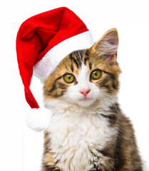 cute little long haired maine cat with santa cap