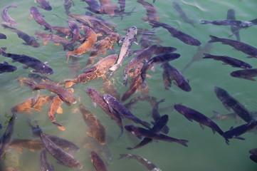 Eine große Ansammlung karpfenartiger Fische in einem See