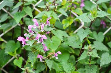 Flowers of Spotted Deadnettle (Lamium maculatum)