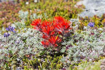 Paintbrush flowers among alpine lichen on Mt. Rainier