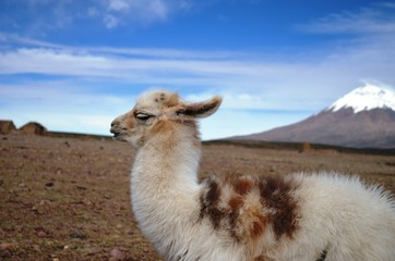 Llama in the Chilean Altiplanic