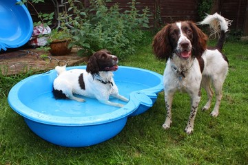 two liver and white working english springer spaniel pet gundogs