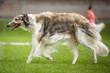 canvas print picture - Windhund - Barsoi