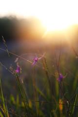 Landscape, sunny dawn in field