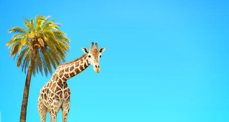 Coconut palm and giraffe