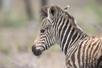 Young baby zebra foal portrait standing alone in nature