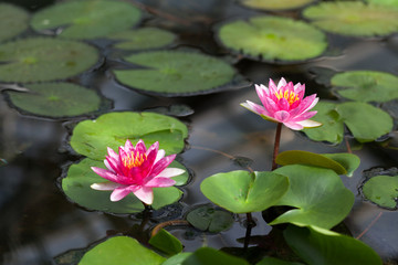 Water lilies in the botanical garden. St. Petersburg. Russia.