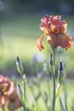 Orange Iris Flower