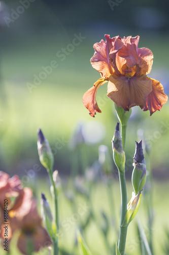 Spoed canvasdoek 2cm dik Iris Orange Iris Flower