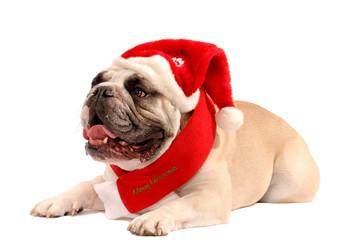Englische Bulldogge Liegend mit Weihnachtsmütze