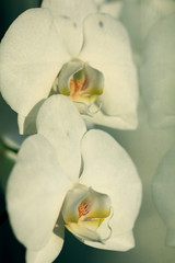 flower white orchid