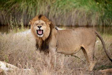 Big African Lion Roaring portrait - Serengeti, Tanzania
